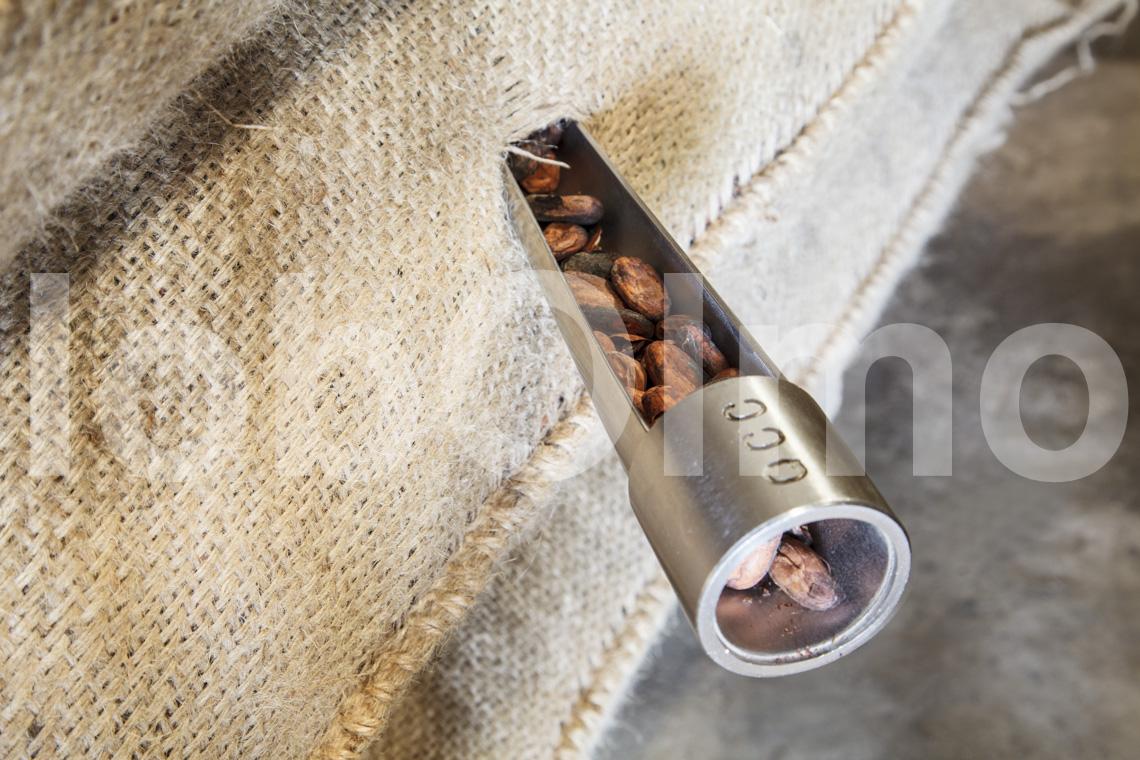Entnahme der Kakaobohnen