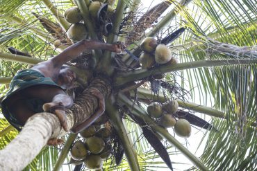 Kokosmilch: fair, gesund, weitgehend unbekannt