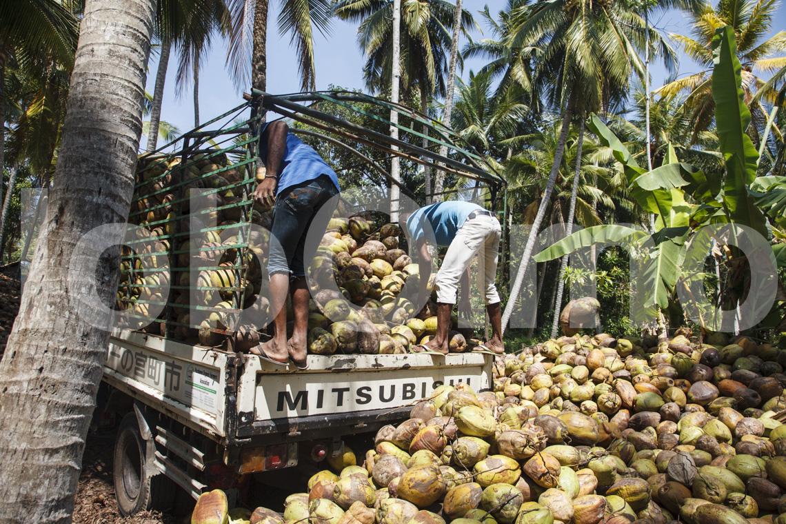 Abladen der Kokosnüsse