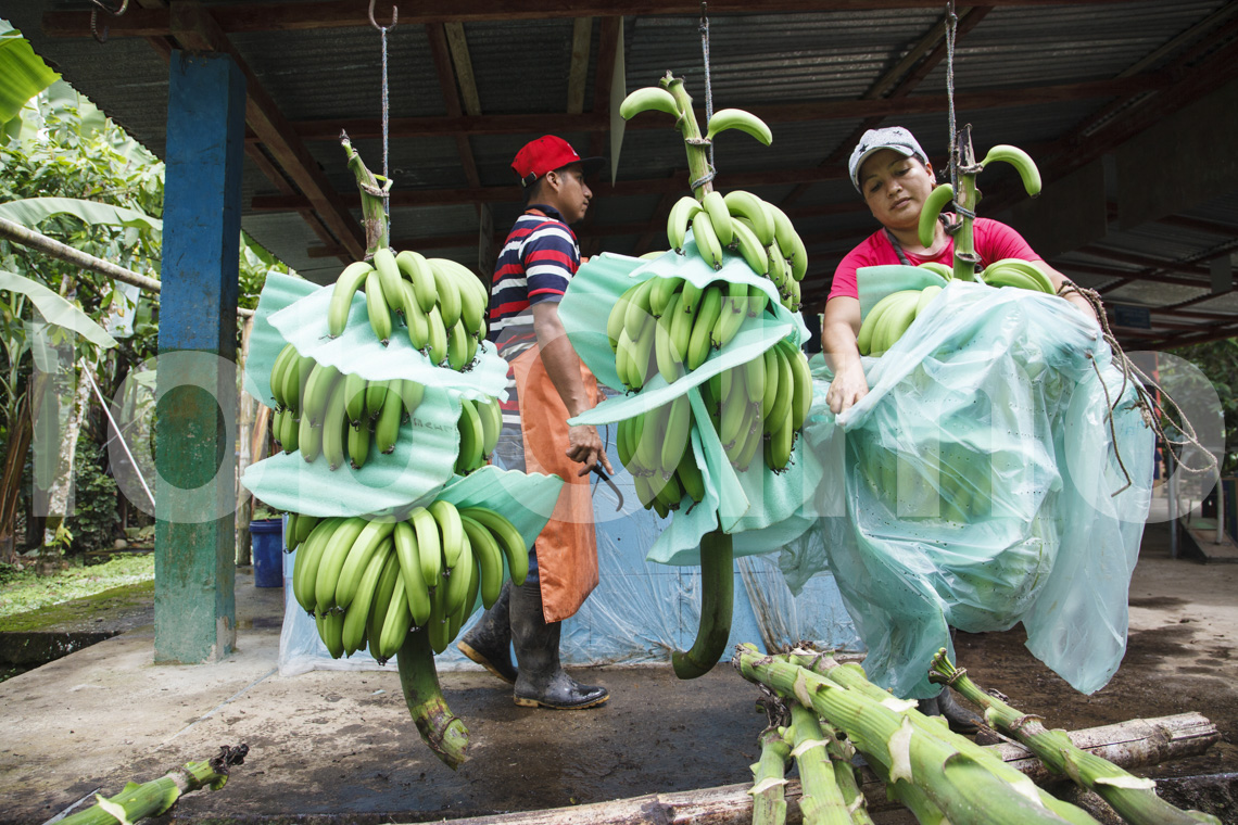 Bananenverarbeitung bei UROCAL inb Ecuador
