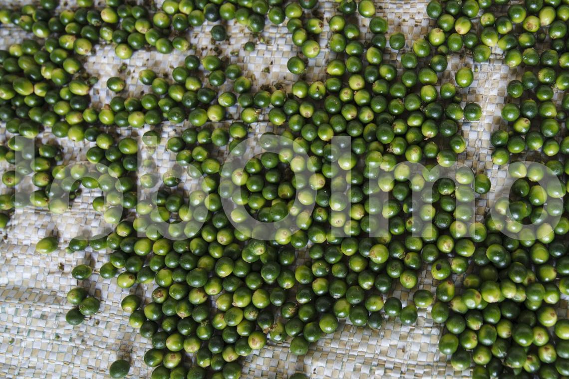 Grüne Pfefferkörner beim Trocknen