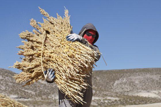 Quinoa: Höhenflug eines Wunderkorns