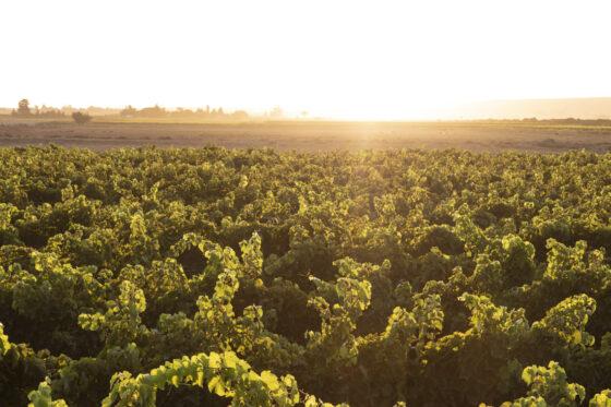 Stellar Organics: Ein südafrikanisches Weingut vor und in der Pandemie