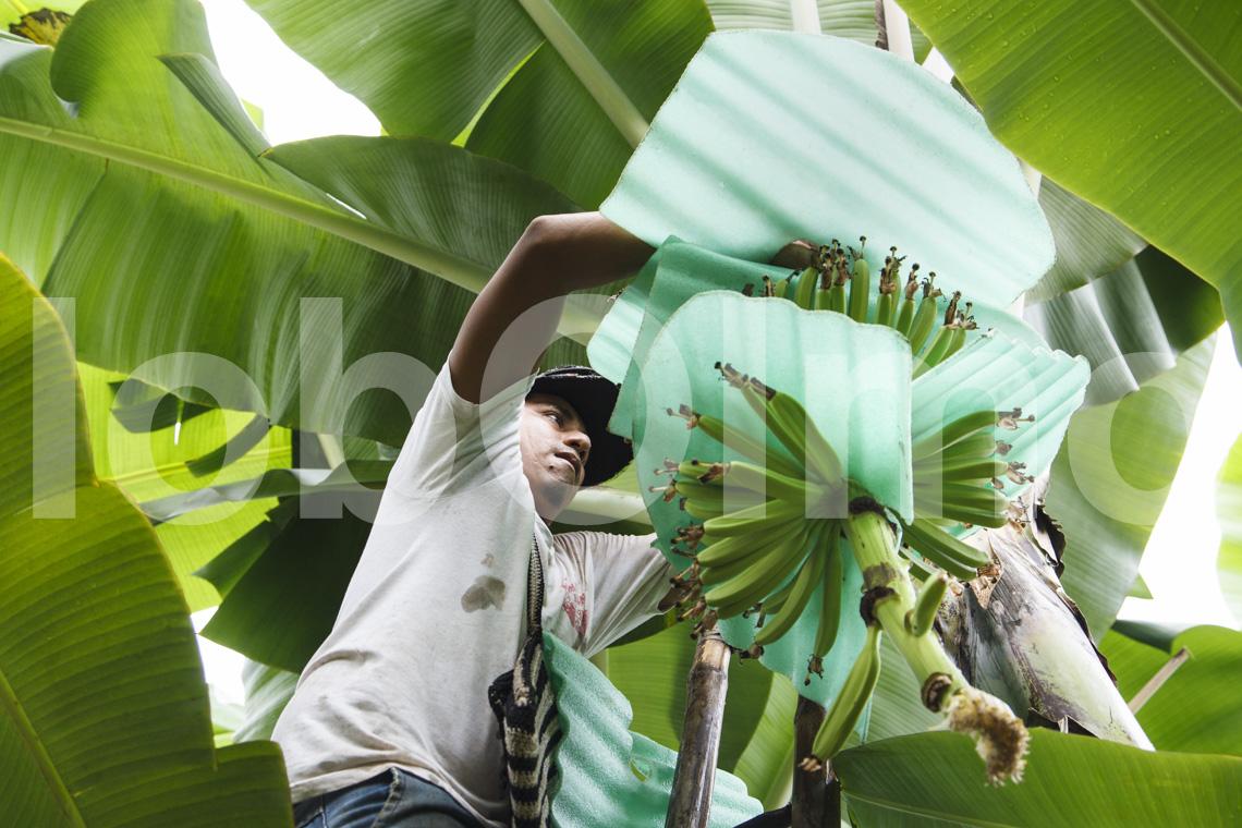 Bananenbauer, UROCAL