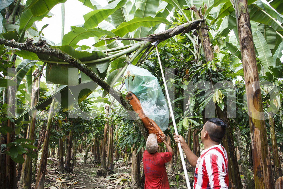 Bananenbauern beim Ernten, UROCAL