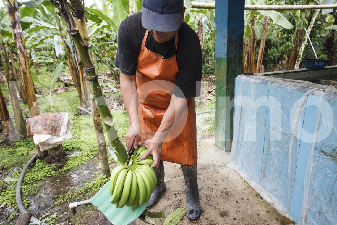 Weiterverarbeitung der Bananen, UROCAL