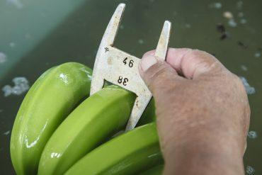 Vom Schössling bis in den Weltladen: Bananen