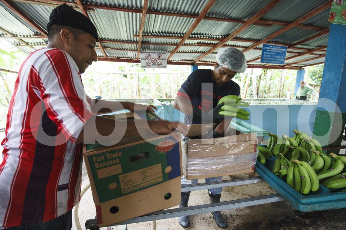 Verpacken der Bananen, UROCAL